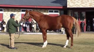 グランデッツァ Grandezza - ブリーダーズ・スタリオンステーション種牡馬展示会2019