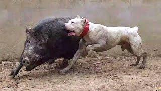 Запрещенные Тренировки Собак Снятые на Видео