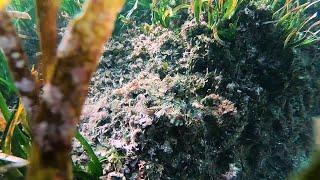 Octopus Hides Among the Plants || ViralHog
