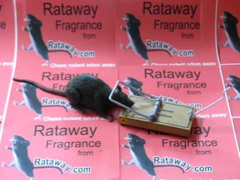 protect your car engine from rodents rats squirrels etc use rataway fragrance from rataway. Black Bedroom Furniture Sets. Home Design Ideas
