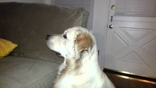 English Cream Golden Retriever Dog Watching Breaking Bad - Skateboarders - Season 5 Episode 9