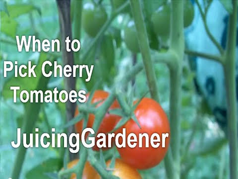 How Do I Know EXACTLY WHEN to Pick My Cherry Tomatoes? You Can
