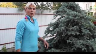 Как подстричь (сформировать) ёлку(Питомник декоративных растений