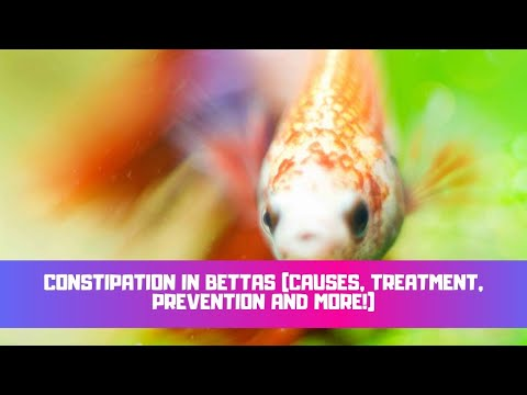 Constipation In Bettas (Causes, Treatment, Symptoms & Prevention)