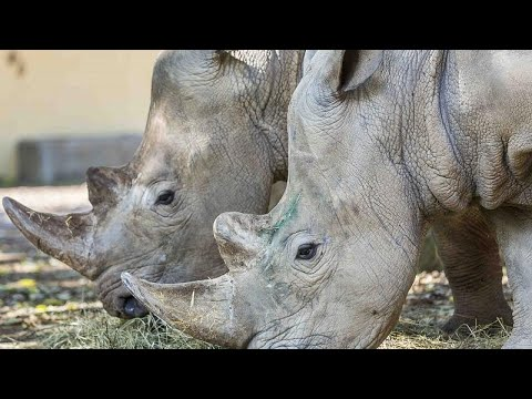 Kenya: Scientists on northern white rhinoceros repopulation mission