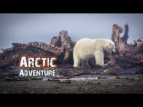 SURROUNDED BY POLAR BEARS! - ARCTIC ALASKA