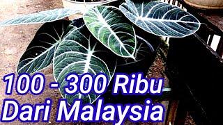 Harga Bunga Alocasia Black Velvet 2020