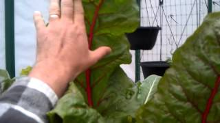 Toscano Or Tuscan Kale In Aquaponics