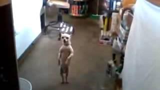 ржачное видео собака реально танцует сальса