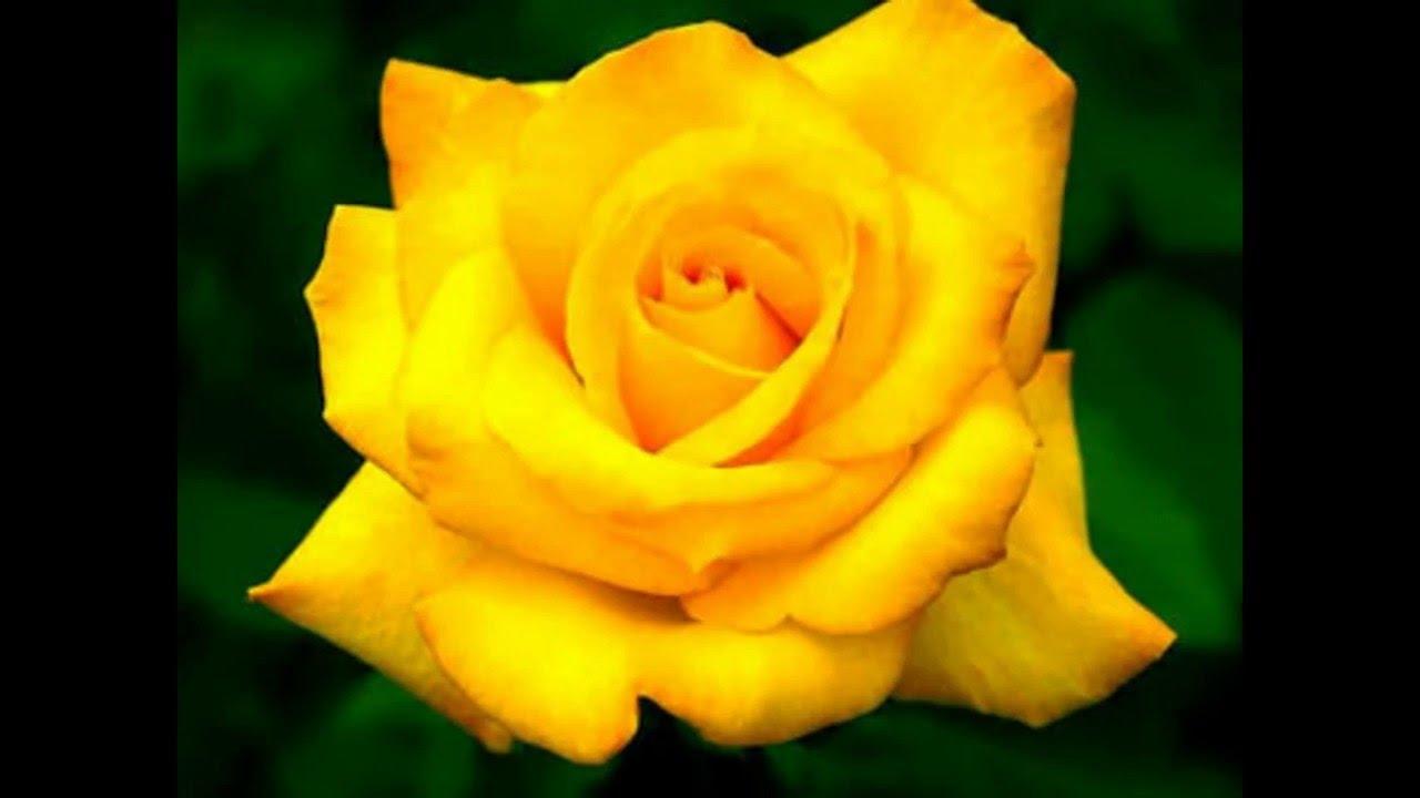 لكل عشاق الورود ورود صفراء روووووووووعة Youtube
