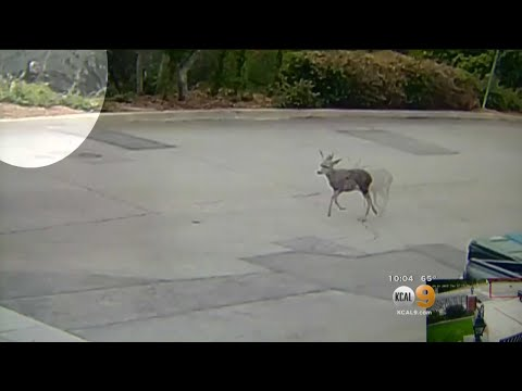 Caught On Camera: Hunter Kills Deer With Bow And Arrow To 'Put It Out Of Its Misery'