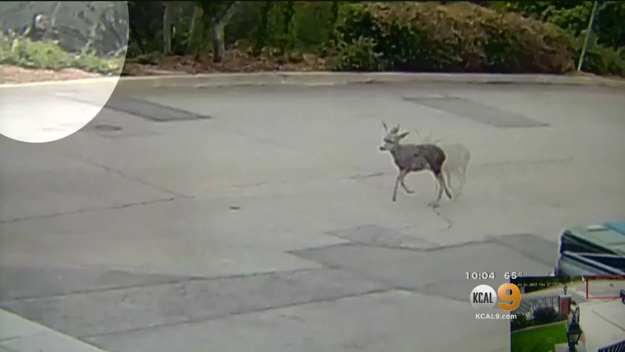 5b322939425 Caught On Camera  Hunter Kills Deer With Bow And Arrow To  Put It Out Of  Its Misery