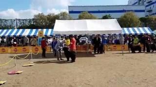 2016年11月11日開催 北九州門司港レトロ愛犬クラブ展 ニューファンドラ...