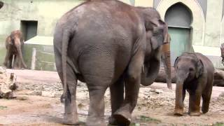 Baby Elephant Ludwig and his aunts Mangala and Panang :- The little Rascal at Munich Zoo -