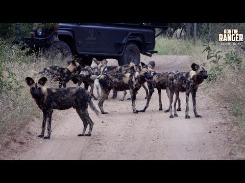 Endangered Wildlife | African Painted Wolves Play At Sunset (Introduced By Kelly Kikx)