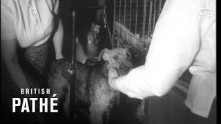 Terrier Best In Show - New York  (1962)