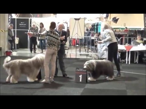 Int Dogshow De Utrecht 9-4-2016 ...Bearded Collie Openklas Reu