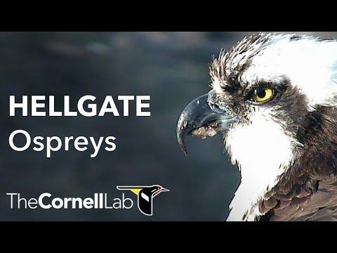 Cornell Lab   University of Montana Hellgate Ospreys [Dual-cam]