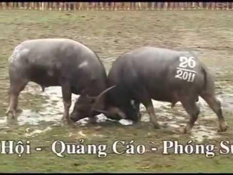 Le Hoi Choi Trau Hai Luu_Vinhphuc_2011