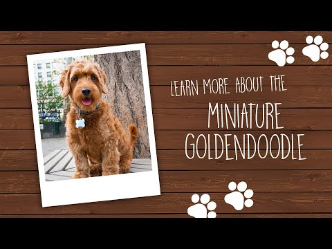 Mini Goldendoodle | Palm Beach Puppies