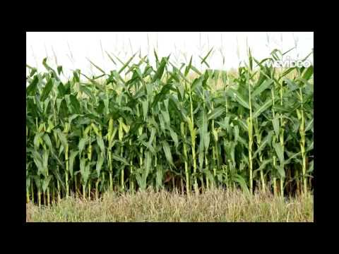 How Corn Grows You