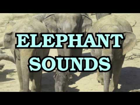 Elephant Trumpet Sound Effects - YouTube