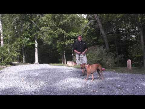 Boxer Puppy-Dog Training  Lexington NC | Lilly