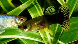 5 Irrtümer über Guppy Weibchen - Aquaristik Fische Dokumentation über Guppys von Robert Höck