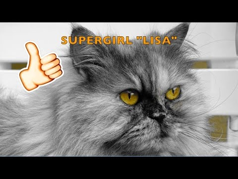 Supergirl Lisa-Very funny and smart persian cat!