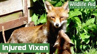 Fox cubs given second chance after mother