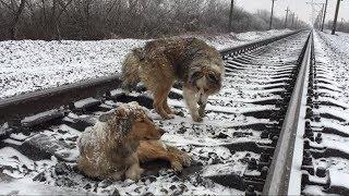Этот пёс 2 дня охранял свою подругу, которая получила травму на рельсах