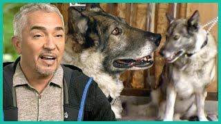 Protective German Shepherd That Bit Cesar Millan is Tamed | Cesar 911