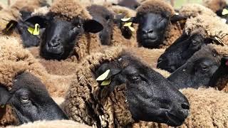 1st European Wool Day | Black Wool