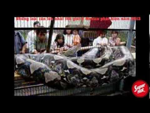 Những loài rắn lớn nhất thế giới ở Mexico phát hiện 2013 - Những con rắn TO KINH HỒN