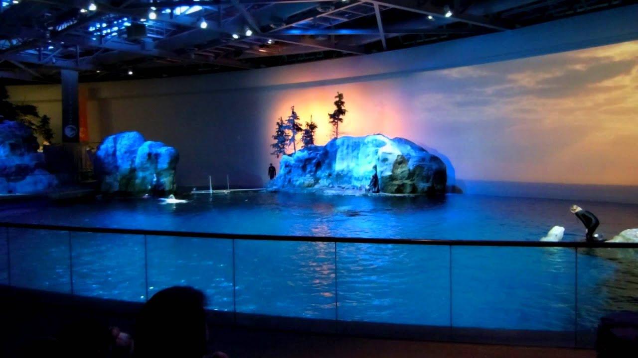 Beluga Whale Show John . Shedd Aquarium - Chicago Il