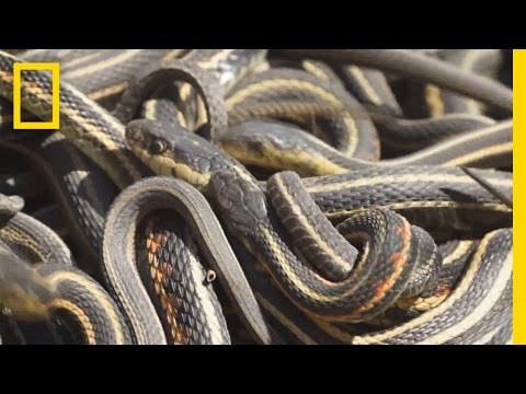 Thumbnail: Too Much Sex Is Killing These Male Snakes | National Geographic