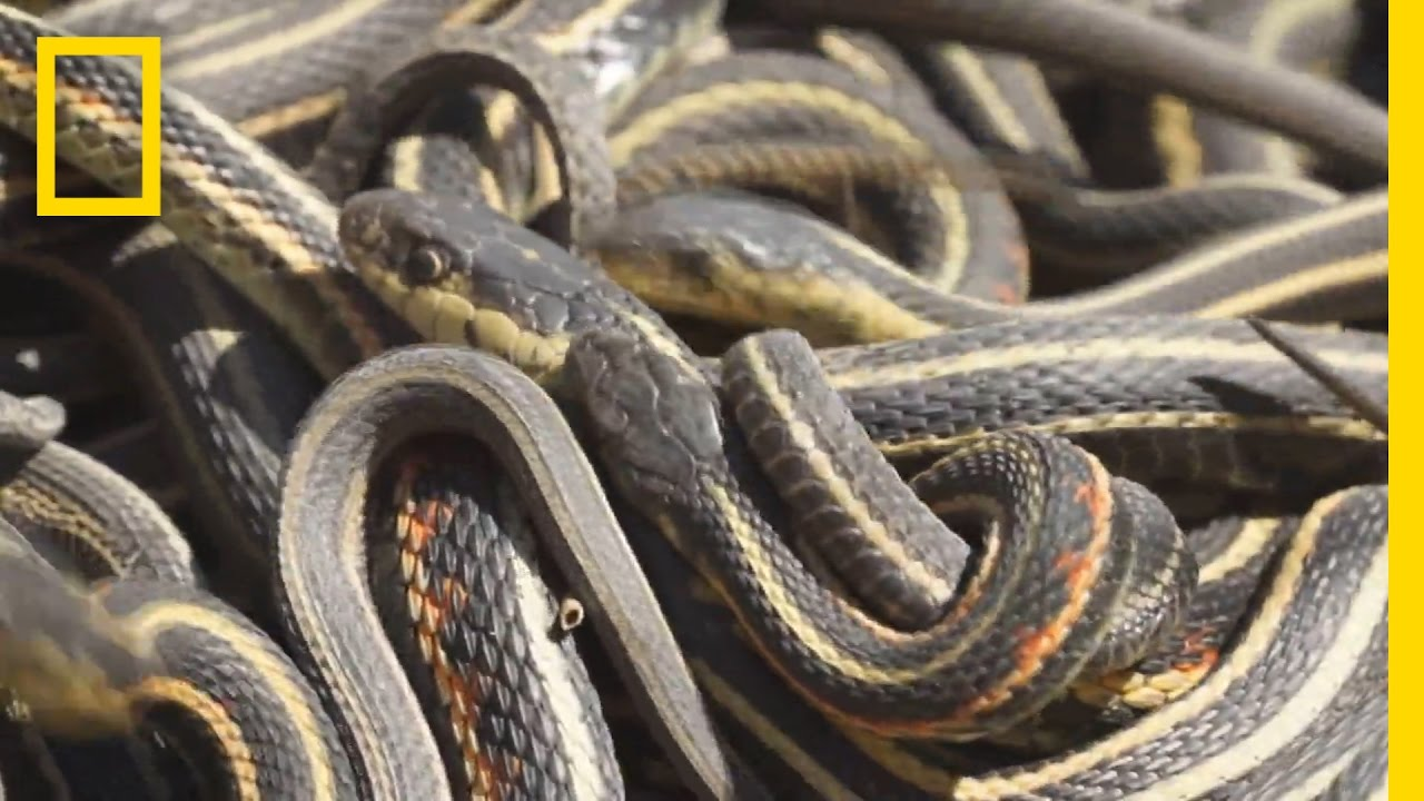 That Giral sex with snakes story similar