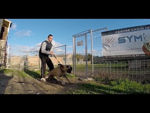 AMERICAN STAFFORDSHIRE ATTAQUE LES CHIENS / EDUCATION CANINE 2016 SYM DOG