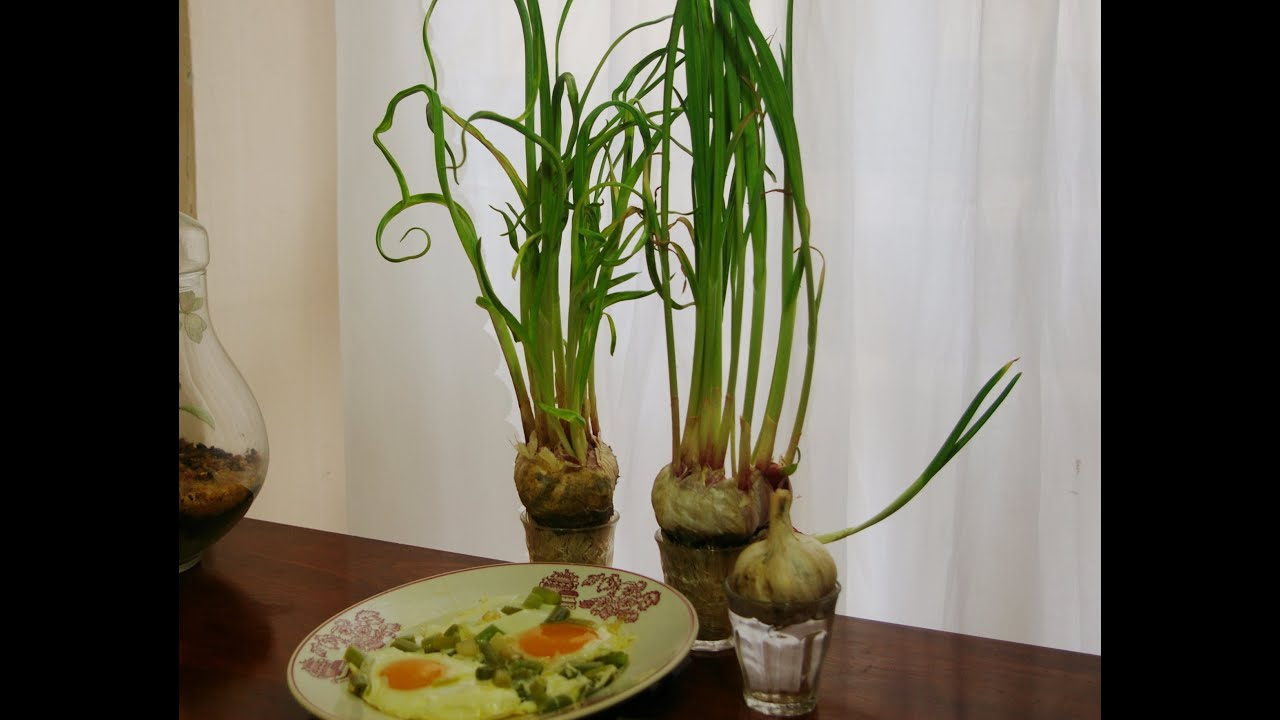 Cultivar ajos tiernos en casa cultivating garlic at home for Como cultivar peces en casa