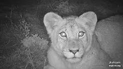 Lion comes face-to-face with live cam by explore.org and Africam
