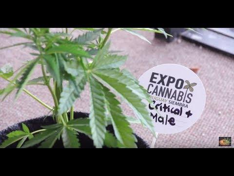 Cobertura Expo Cannabis Uruguai 2017