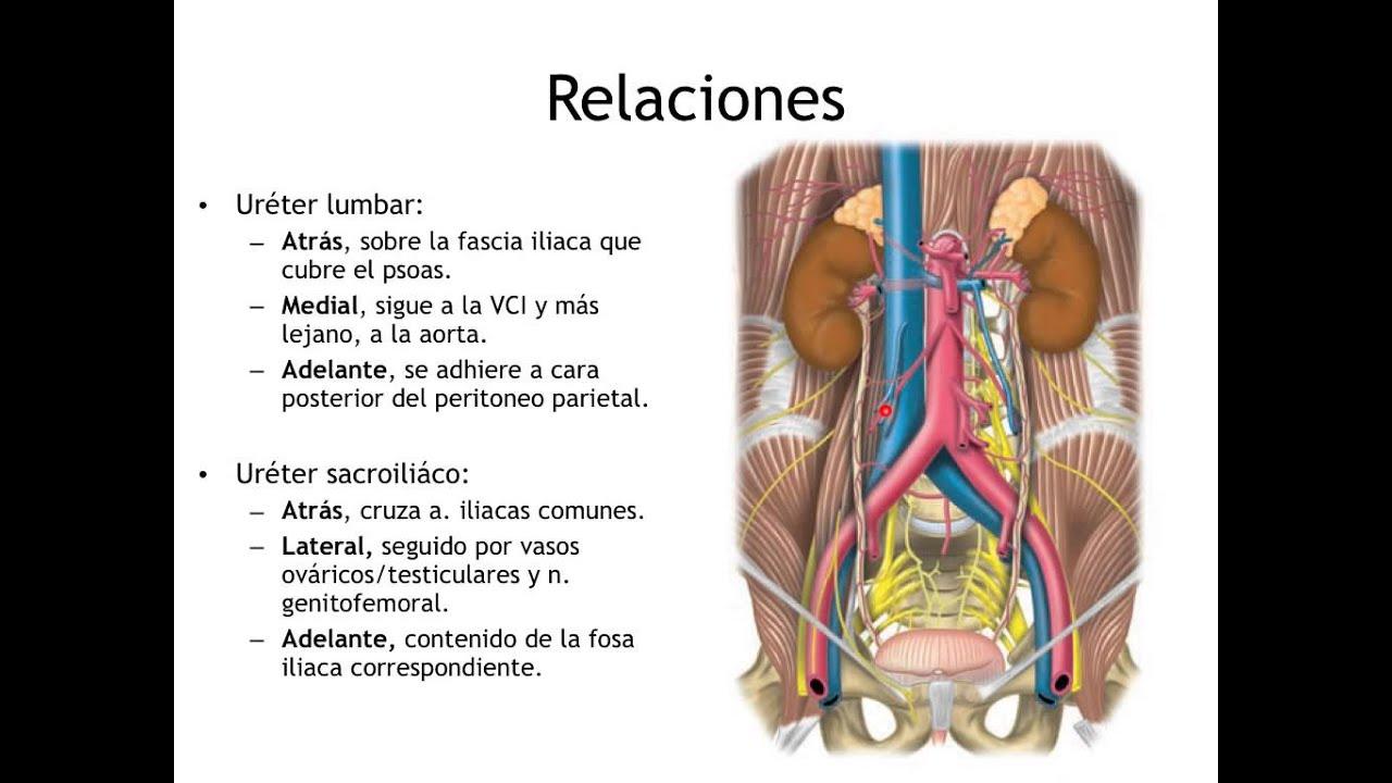 Anatomia Renal, Ureteres y Diafragma - YouTube