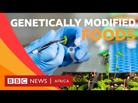 What is genetically modified food? - BBC What's New?