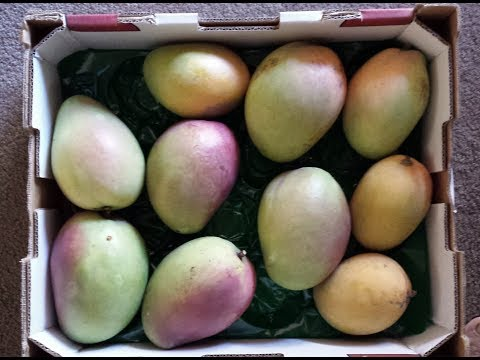 Update Of Seed Grown 3 Year Old Mango Tree Producing Fruits