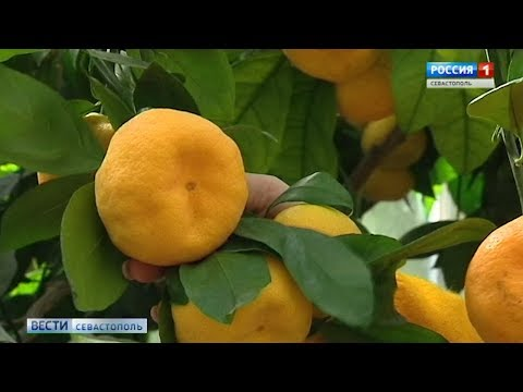 Жительница Севастополя собрала почти 150 сортов цитрусовых в своем лимонарии