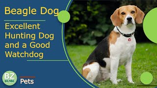 The Beagle Dog : Is One of The 10 Most Popular Dog Breeds