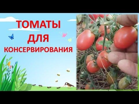 ТОМАТЫ ЧИО-ЧИО-САН И ЧЕРРИ КРАСНАЯ ВИШНЯ. Какой томат посадить в теплице. Выращивание помидоров.