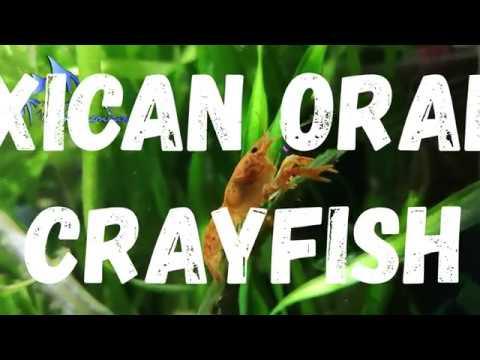 Maxican Orange Crayfish (Cambarellus Patzcuarensis).