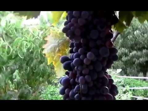 виноград в Армении. МЕГРИ