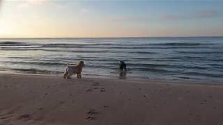 Soft coated wheaten terrier and Mudi playing on seaside